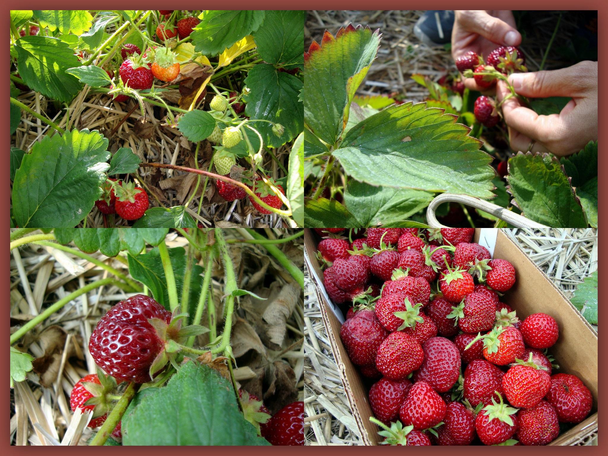 תותים מוקטן